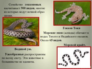 Семейство гекконовых насчитывает 900 видов, многие из которых ведут ночной образ