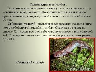 Саламандры и углозубы . В Якутии в вечной мерзлоте нашли углозуба и приняли его