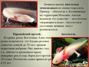 Личинки многих хвостатых земноводных не спешат взрослеть. Пример – обитатель о.