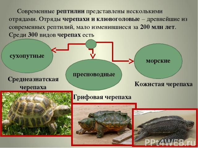Современные рептилии представлены несколькими отрядами. Отряды черепахи и клювоголовые – древнейшие из современных рептилий, мало изменившиеся за 200 млн лет. Среди 300 видов черепах есть сухопутные морские пресноводные Среднеазиатская черепаха Гриф…