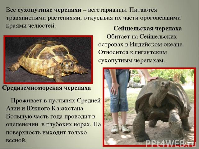 Все сухопутные черепахи – вегетарианцы. Питаются травянистыми растениями, откусывая их части ороговевшими краями челюстей. Средиземноморская черепаха Проживает в пустынях Средней Азии и Южного Казахстана. Большую часть года проводит в оцепенении в г…