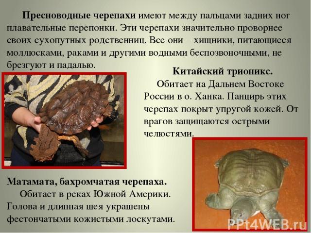Пресноводные черепахи имеют между пальцами задних ног плавательные перепонки. Эти черепахи значительно проворнее своих сухопутных родственниц. Все они – хищники, питающиеся моллюсками, раками и другими водными беспозвоночными, не брезгуют и падалью.…