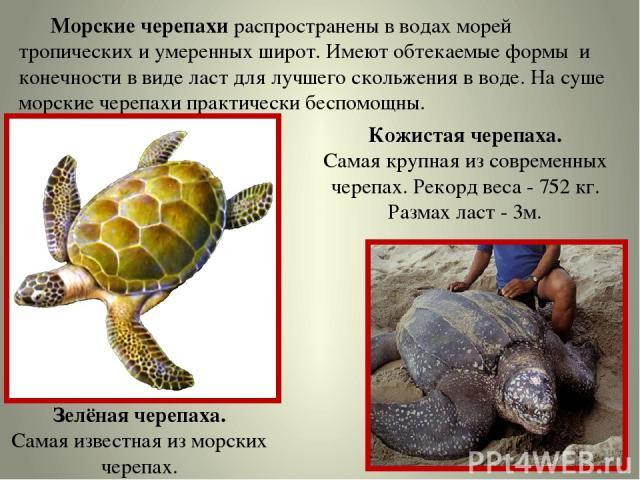 Морские черепахи распространены в водах морей тропических и умеренных широт. Имеют обтекаемые формы и конечности в виде ласт для лучшего скольжения в воде. На суше морские черепахи практически беспомощны. Зелёная черепаха. Самая известная из морских…