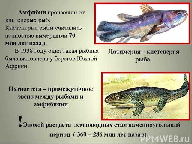 Амфибии произошли от кистеперых рыб. Кистеперые рыбы считались полностью вымершими 70 млн лет назад. В 1938 году одна такая рыбина была выловлена у берегов Южной Африки. !Эпохой расцвета земноводных стал каменноугольный период ( 360 – 286 млн лет на…