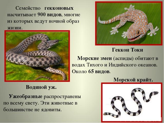 Семейство гекконовых насчитывает 900 видов, многие из которых ведут ночной образ жизни. Геккон Токи Водяной уж. Ужеобразные распространены по всему свету. Эти животные в большинстве не ядовиты. Морские змеи (аспиды) обитают в водах Тихого и Индийско…