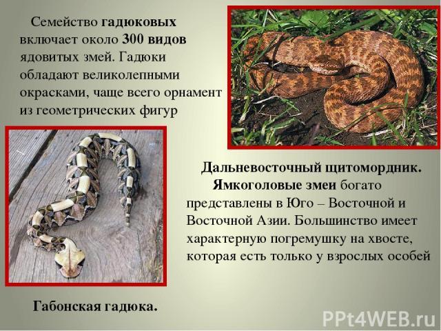 Семейство гадюковых включает около 300 видов ядовитых змей. Гадюки обладают великолепными окрасками, чаще всего орнамент из геометрических фигур Габонская гадюка. Дальневосточный щитомордник. Ямкоголовые змеи богато представлены в Юго – Восточной и …