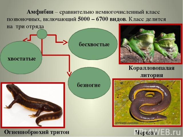Амфибии – сравнительно немногочисленный класс позвоночных, включающий 5000 – 6700 видов. Класс делится на три отряда хвостатые безногие бесхвостые Коралловопалая литория Червяга Огненнобрюхий тритон