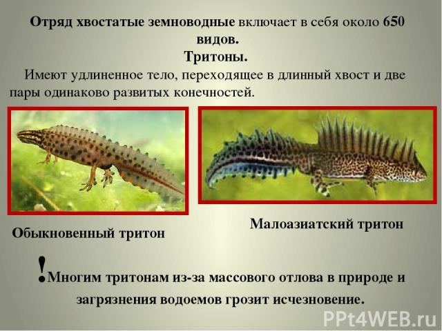 Отряд хвостатые земноводные включает в себя около 650 видов. Тритоны. Имеют удлиненное тело, переходящее в длинный хвост и две пары одинаково развитых конечностей. Обыкновенный тритон Малоазиатский тритон !Многим тритонам из-за массового отлова в пр…