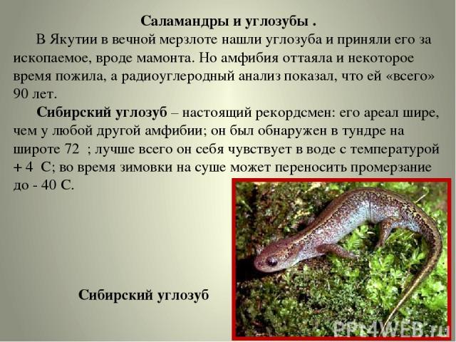 Саламандры и углозубы . В Якутии в вечной мерзлоте нашли углозуба и приняли его за ископаемое, вроде мамонта. Но амфибия оттаяла и некоторое время пожила, а радиоуглеродный анализ показал, что ей «всего» 90 лет. Сибирский углозуб – настоящий рекордс…