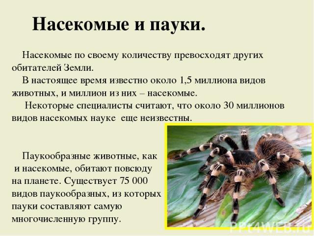 Насекомые и пауки. Насекомые по своему количеству превосходят других обитателей Земли. В настоящее время известно около 1,5 миллиона видов животных, и миллион из них – насекомые. Некоторые специалисты считают, что около 30 миллионов видов насекомых …