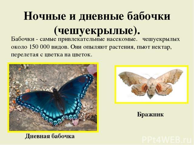 Ночные и дневные бабочки (чешуекрылые). Бабочки - самые привлекательные насекомые. чешуекрылых около 150 000 видов. Они опыляют растения, пьют нектар, перелетая с цветка на цветок. Бражник Дневная бабочка