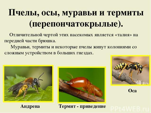 Пчелы, осы, муравьи и термиты (перепончатокрылые). Отличительной чертой этих насекомых является «талия» на передней части брюшка. Муравьи, термиты и некоторые пчелы живут колониями со сложным устройством в больших гнездах. Андрена Термит - приведение Оса