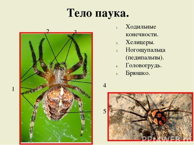 Тело паука. Ходильные конечности. Хелицеры. Ногощупальца (педипальпы). Головогрудь. Брюшко. 1 2 3 4 5