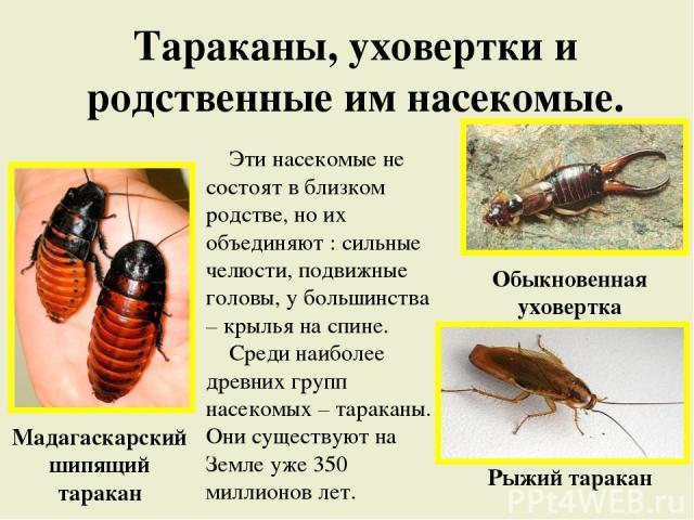 Тараканы, уховертки и родственные им насекомые. Эти насекомые не состоят в близком родстве, но их объединяют : сильные челюсти, подвижные головы, у большинства – крылья на спине. Среди наиболее древних групп насекомых – тараканы. Они существуют на З…