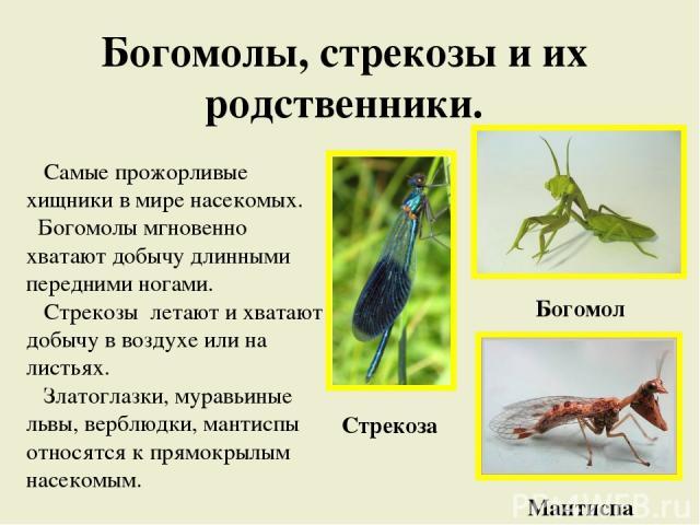 Богомолы, стрекозы и их родственники. Самые прожорливые хищники в мире насекомых. Богомолы мгновенно хватают добычу длинными передними ногами. Стрекозы летают и хватают добычу в воздухе или на листьях. Златоглазки, муравьиные львы, верблюдки, мантис…