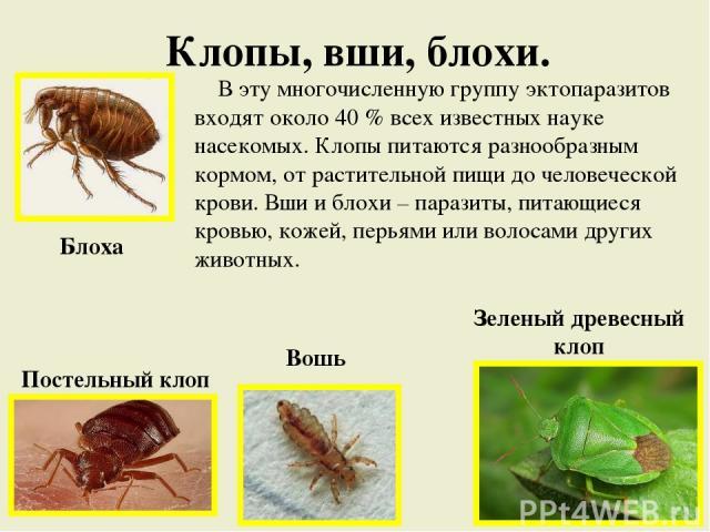 Клопы, вши, блохи. Блоха Постельный клоп Вошь Зеленый древесный клоп В эту многочисленную группу эктопаразитов входят около 40 % всех известных науке насекомых. Клопы питаются разнообразным кормом, от растительной пищи до человеческой крови. Вши и б…