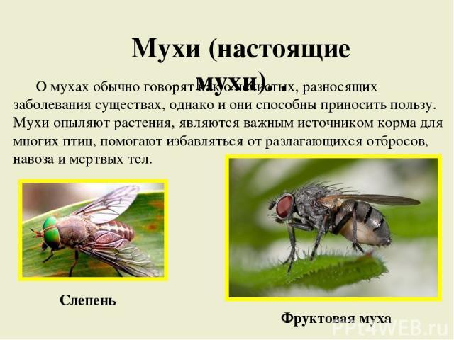 Мухи (настоящие мухи). . О мухах обычно говорят как о нечистых, разносящих заболевания существах, однако и они способны приносить пользу. Мухи опыляют растения, являются важным источником корма для многих птиц, помогают избавляться от разлагающихся …