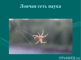 Ловчая сеть паука
