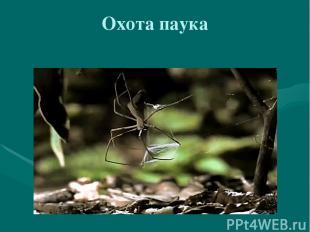 Охота паука