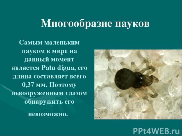 Самым маленьким пауком в мире на данный момент является Patu digua, его длина составляет всего 0,37 мм. Поэтому невооруженным глазом обнаружить его невозможно. Многообразие пауков