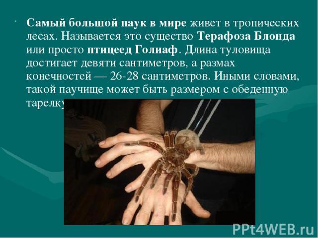 Самый большой паук в мире живет в тропических лесах. Называется это существо Терафоза Блонда или просто птицеед Голиаф. Длина туловища достигает девяти сантиметров, а размах конечностей — 26-28 сантиметров. Иными словами, такой паучище может быть ра…