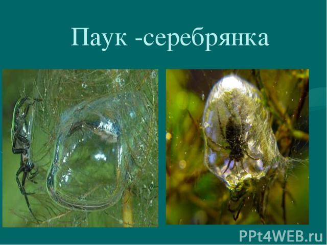 Паук -серебрянка