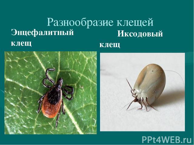 Разнообразие клещей Энцефалитный клещ Иксодовый клещ