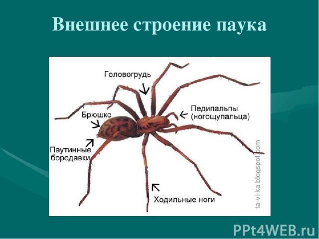 Внешнее строение паука
