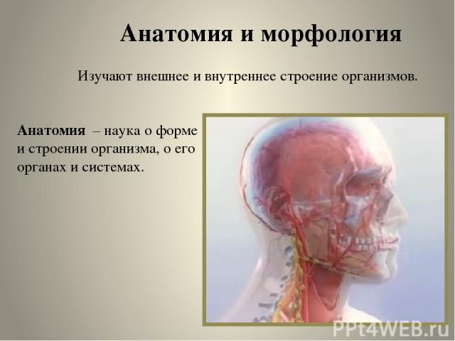 Анатомия и морфология Изучают внешнее и внутреннее строение организмов. Анатомия – наука о форме и строении организма, о его органах и системах.