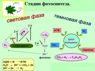Стадии фотосинтеза.