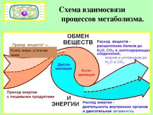 Схема взаимосвязи процессов метаболизма. белки, жиры, углеводы пищи.