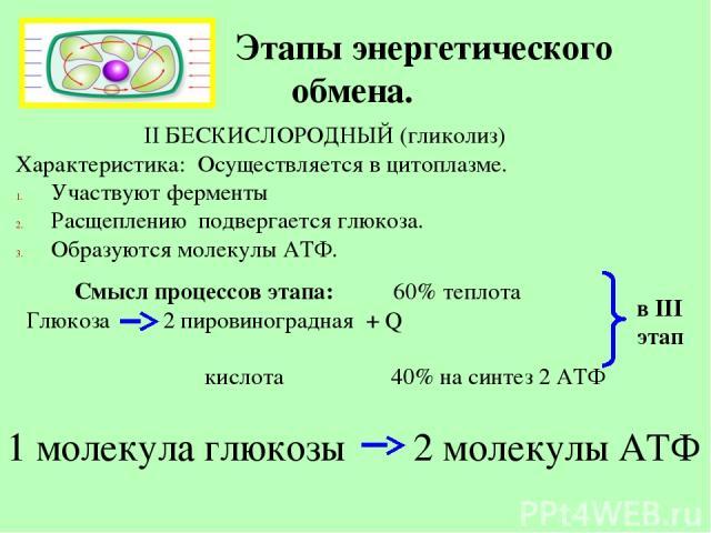 Этапы энергетического обмена. II БЕСКИСЛОРОДНЫЙ (гликолиз) Характеристика: Осуществляется в цитоплазме. Участвуют ферменты Расщеплению подвергается глюкоза. Образуются молекулы АТФ. Смысл процессов этапа: 60% теплота Глюкоза 2 пировиноградная + Q ки…