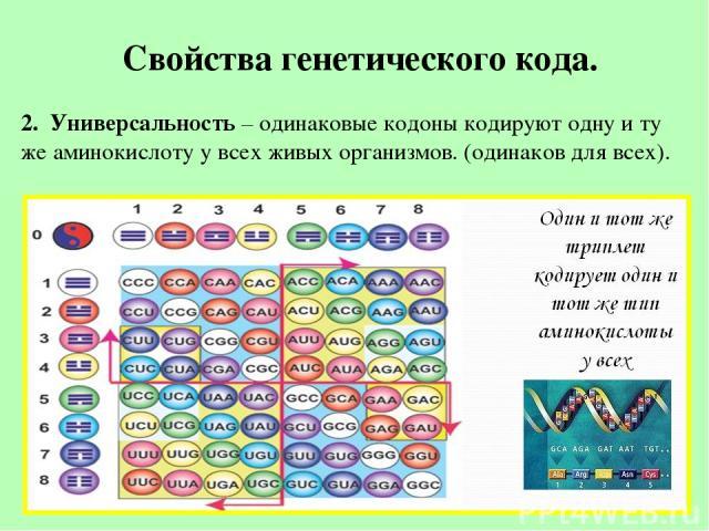 Свойства генетического кода. 2. Универсальность – одинаковые кодоны кодируют одну и ту же аминокислоту у всех живых организмов. (одинаков для всех).