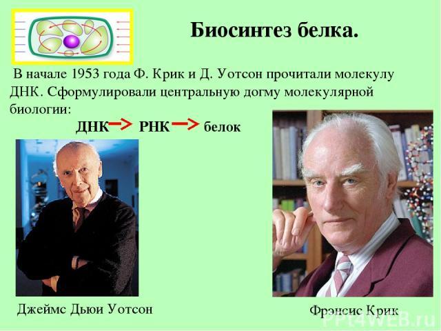 Биосинтез белка. В начале 1953 года Ф. Крик и Д. Уотсон прочитали молекулу ДНК. Сформулировали центральную догму молекулярной биологии: ДНК РНК белок Фрэнсис Крик Джеймс Дьюи Уотсон