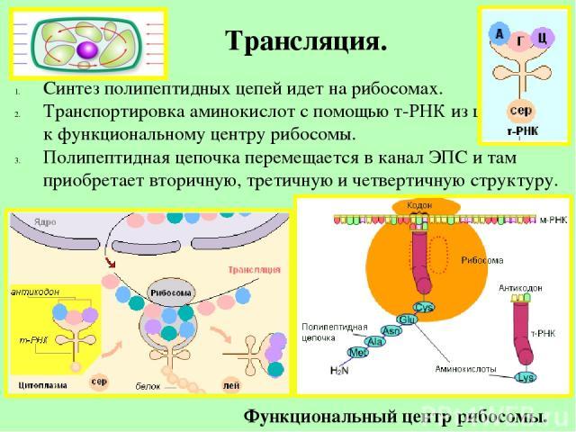 Трансляция. Синтез полипептидных цепей идет на рибосомах. Транспортировка аминокислот с помощью т-РНК из цитоплазмы к функциональному центру рибосомы. Полипептидная цепочка перемещается в канал ЭПС и там приобретает вторичную, третичную и четвертичн…
