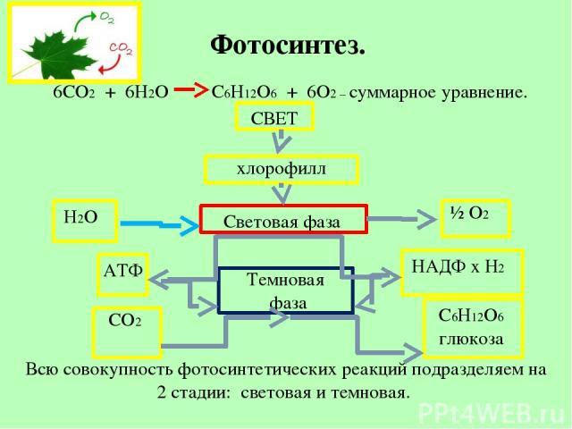 Фотосинтез. 6CO2 + 6H2O C6H12O6 + 6O2 – суммарное уравнение. СВЕТ хлорофилл Н2О Световая фаза ½ О2 АТФ НАДФ х Н2 Темновая фаза СО2 С6Н12О6 глюкоза Всю совокупность фотосинтетических реакций подразделяем на 2 стадии: световая и темновая.
