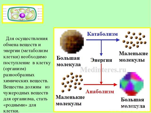 Для осуществления обмена веществ и энергии (метаболизм клетки) необходимо поступление в клетку (организм) разнообразных химических веществ. Вещества должны из чужеродных веществ для организма, стать «родными» для клетки.