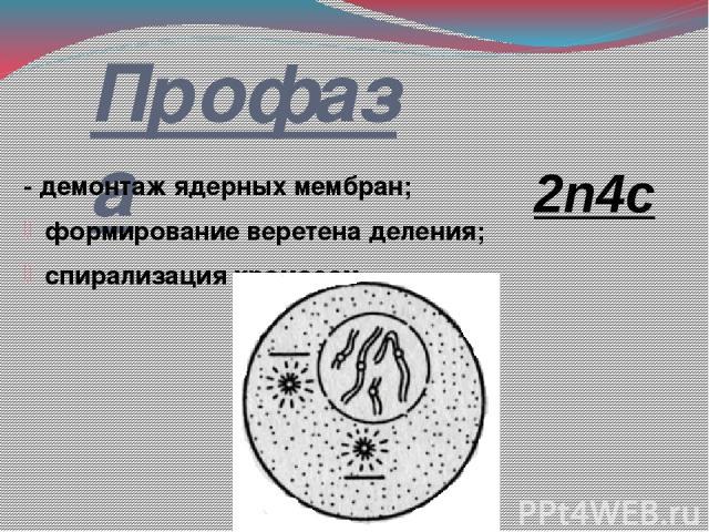 Профаза - демонтаж ядерных мембран; формирование веретена деления; спирализация хромосом 2n4c