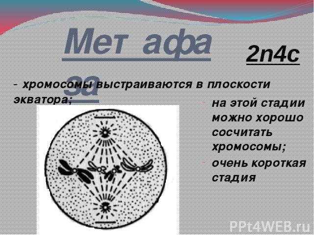 Метафаза - хромосомы выстраиваются в плоскости экватора; на этой стадии можно хорошо сосчитать хромосомы; очень короткая стадия 2n4c