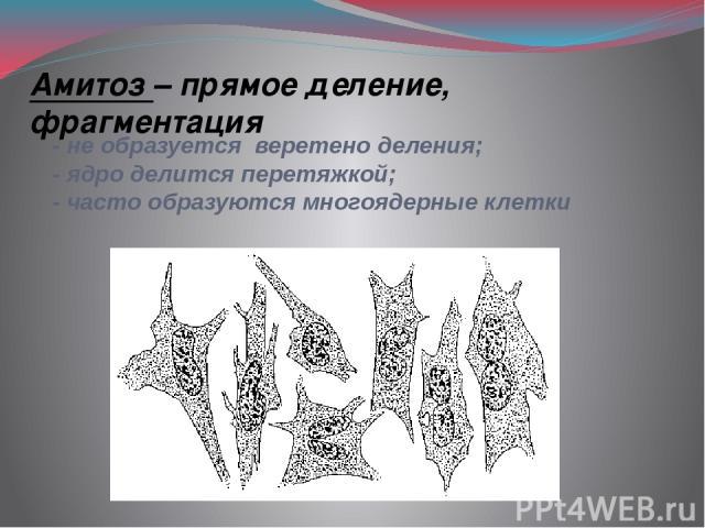 - не образуется веретено деления; - ядро делится перетяжкой; - часто образуются многоядерные клетки Амитоз – прямое деление, фрагментация
