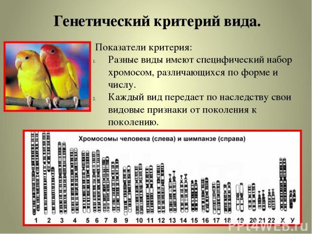 Генетический критерий вида. Показатели критерия: Разные виды имеют специфический набор хромосом, различающихся по форме и числу. Каждый вид передает по наследству свои видовые признаки от поколения к поколению.