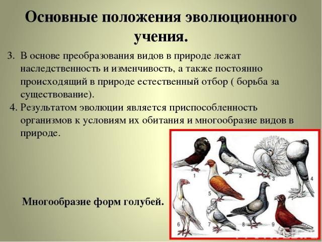 Основные положения эволюционного учения. 3. В основе преобразования видов в природе лежат наследственность и изменчивость, а также постоянно происходящий в природе естественный отбор ( борьба за существование). 4. Результатом эволюции является присп…