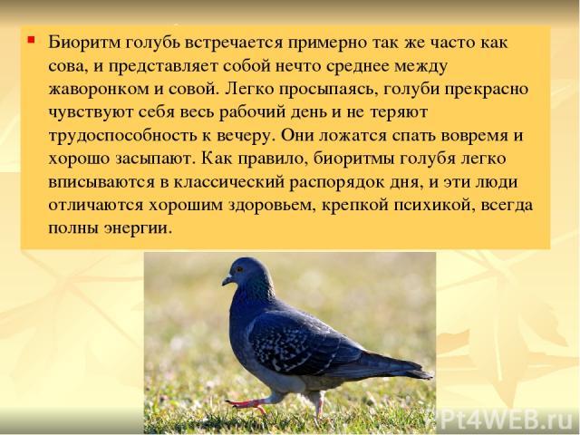 Биоритм голубь встречается примерно так же часто как сова, и представляет собой нечто среднее между жаворонком и совой. Легко просыпаясь, голуби прекрасно чувствуют себя весь рабочий день и не теряют трудоспособность к вечеру. Они ложатся спать вовр…