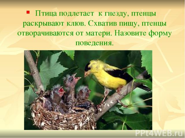 Птица подлетает к гнезду, птенцы раскрывают клюв. Схватив пищу, птенцы отворачиваются от матери. Назовите форму поведения.