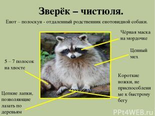 Зверёк – чистюля. Енот – полоскун - отдаленный родственник енотовидной собаки. Ч