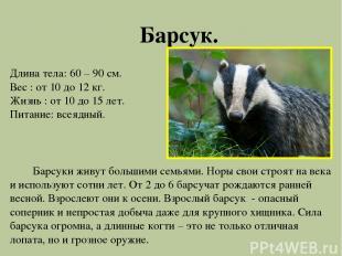 Барсук. Длина тела: 60 – 90 см. Вес : от 10 до 12 кг. Жизнь : от 10 до 15 лет. П