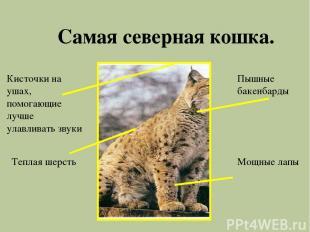 Самая северная кошка. Мощные лапы Пышные бакенбарды Кисточки на ушах, помогающие