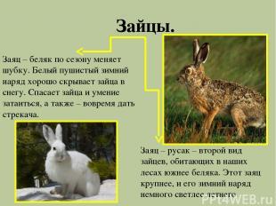 Зайцы. Заяц – беляк по сезону меняет шубку. Белый пушистый зимний наряд хорошо с