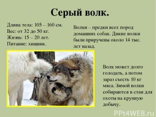Серый волк. Длина тела: 105 – 160 см. Вес: от 32 до 50 кг. Жизнь: 15 – 20 лет. П