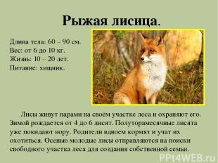 Рыжая лисица. Длина тела: 60 – 90 см. Вес: от 6 до 10 кг. Жизнь: 10 – 20 лет. Пи